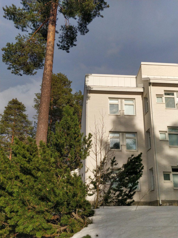 Asuntolarakennus suurten mäntyjen katveessa